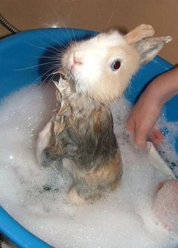 Cute Pet Bunny Getting A Bath