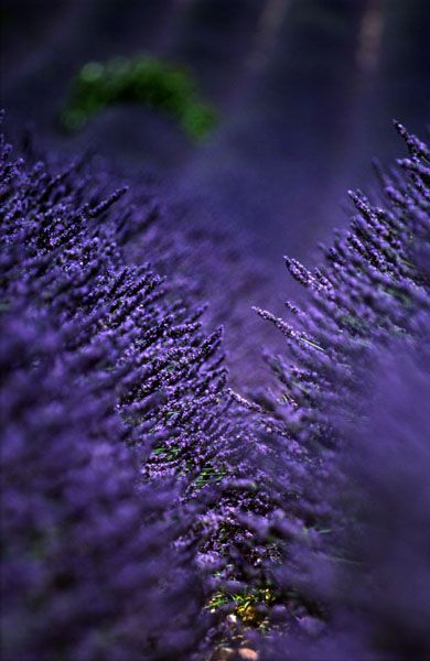 Lavender...I love native plants but I have always loved lavender in my garden too