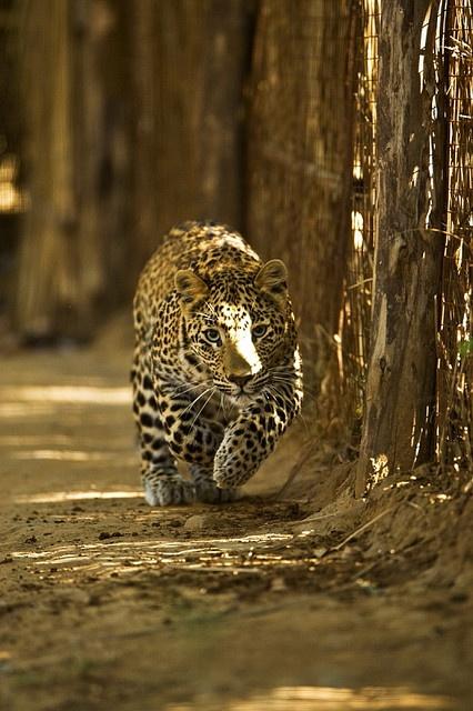 Leopard sighting in Ranthambhore
