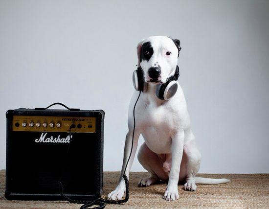 Detroit pit bull fine art print dog photography by lisacervone, $25.00