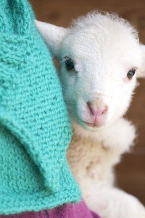 lamb love!!!!!!