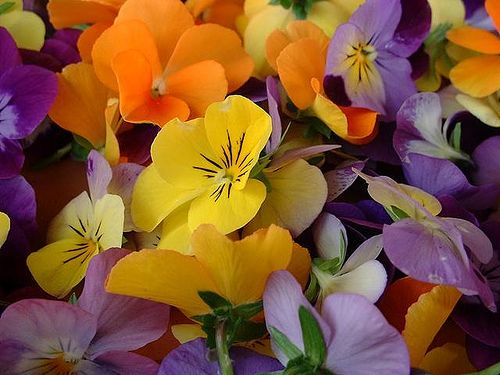 Violas by june_c_oka #Flowers #Spring #Viola
