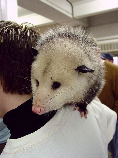 Cute Pet Possum
