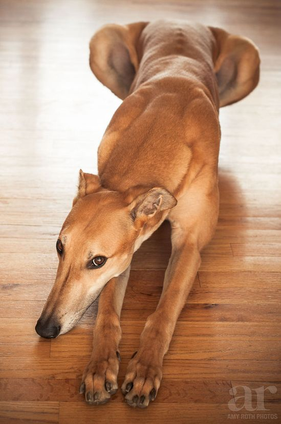 Sphinxing Greyhound