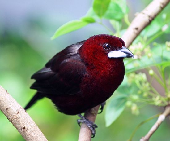~ Silver-Beaked Tanager ~