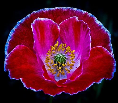 ~~ Spring poppy ~~