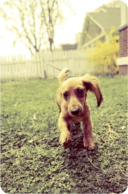 Dachshund - Dog Blog: tipsfordogs.info