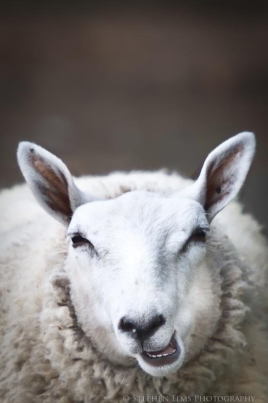 sheep ?