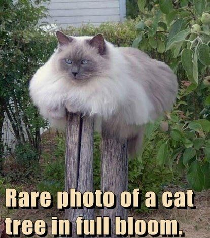 Rare photo of a cat tree in full bloom.  -- very large siamese/himalayan type cat on two wood post