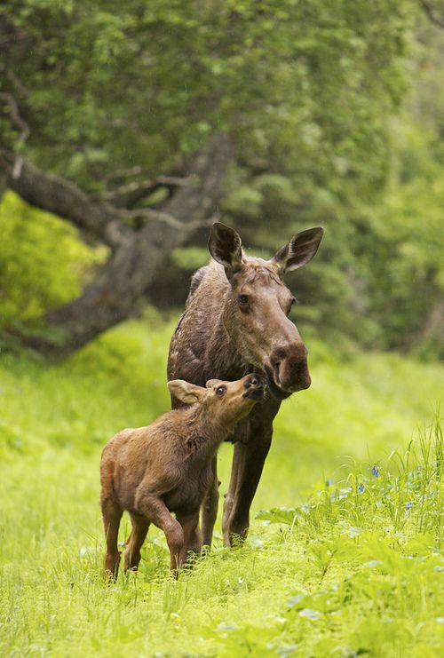 getawildlife:    Moose calf nuzzling mom in the rain. (by AlaskaFreezeFrame)