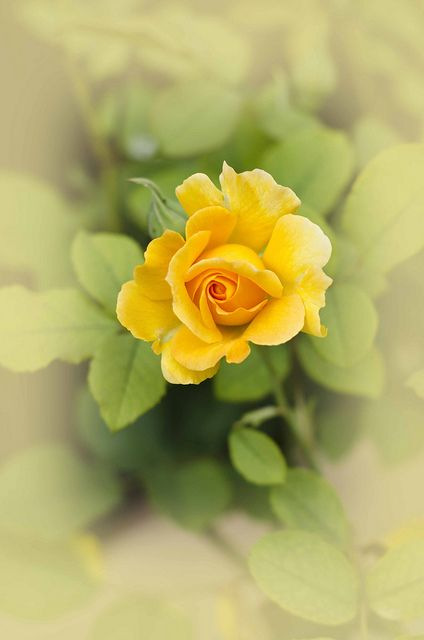 Dreamy Yellow Rose