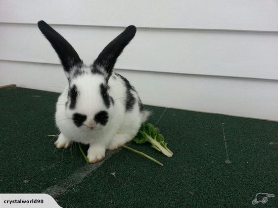 4 Lovely Baby Dwarf Rabbits $15 each