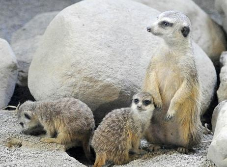 Baby Meerkats and Mom