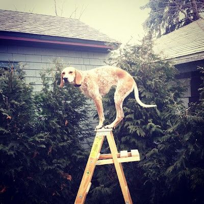 Oops. Can someone get me down. REPIN to spread the LOLs! #dogs #dog #puppy #funny #pets #ladder