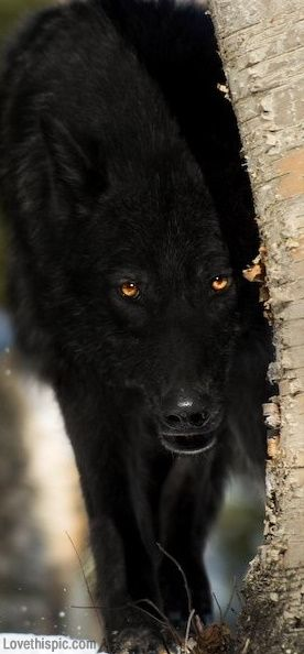 Black Wolf photography animals black wild wolf dangerous
