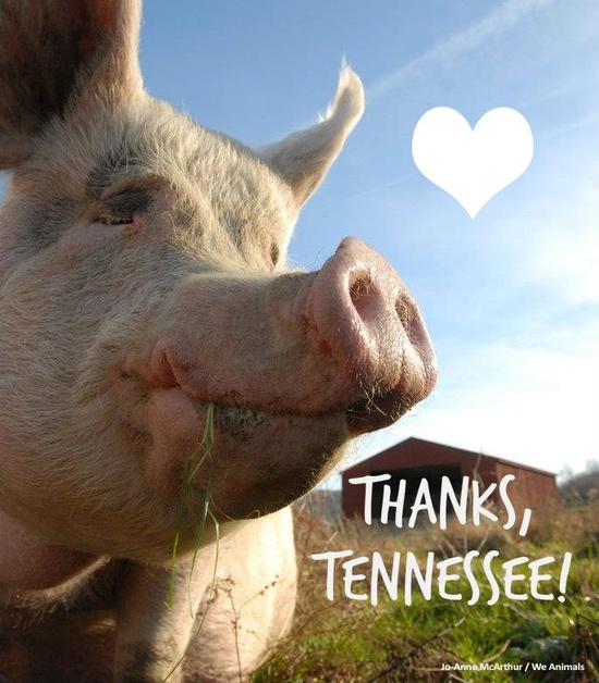 HUGE VICTORY! Tennessee Governor Bill Haslam has announced that he will VETO bill that would make it illegal to expose animal abuse on factory farms! #victory #aggag #animals #animalrights #factoryfarming #slaughterhouses #victoryforanimals #news #awesome #animalrights #happy