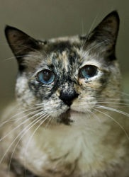 Adopt Odelia @ Feline Rescue, www.felinerescue....  ST PAUL  MN. Siamese Tortie mix, female, spayed/ fully vetted. Pet ID: 4632471  Feline Rescue Inc., SAINT PAUL, MN   •651-642-5900 ext 3, you'll get a call back.  I recently had an awful experience. I was dumped. Yes. Dumped – in the parking lot. Well, of course, that was rude -just totally embarrassing. Here I am -beautiful, exotic, & cast aside. I'd very much like to try with my new people.  Are you my people? Take me home, love me!