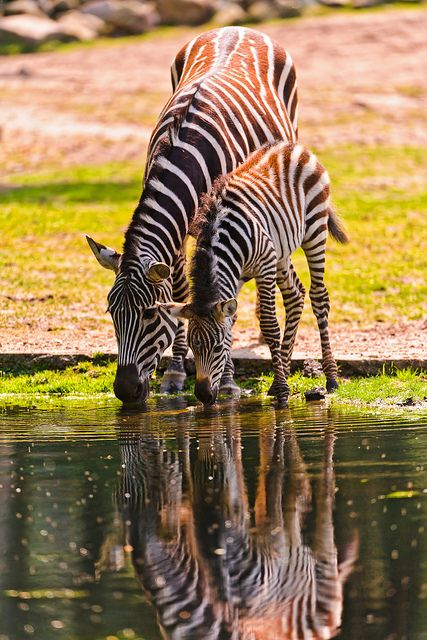 ?Mother and foal zebras drinking by Tambako the Jaguar