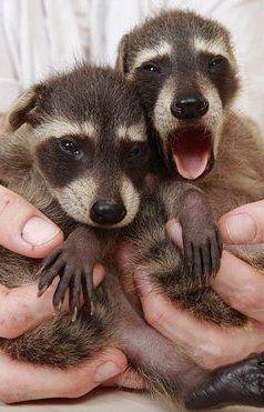 Cute Baby Pet Racoons