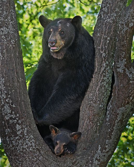 **Protective Black Bear Sow with cub by ashockenberry