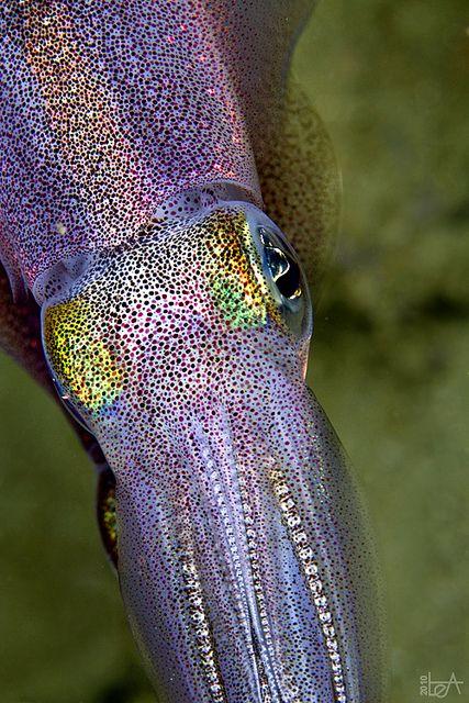 Beautiful cuttlefish