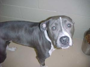 AC-237-13 - NEUTERED!! is an adoptable Pit Bull Terrier Dog in Gladwin, MI. Hello! I came to the shelter as a stray on 3-11-13 and will be up for adoption on 3-19-13. I am about 1 year of age and abou...