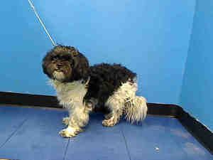 JACKY is an #adoptable #Maltese #Dog in #New #York, #NY.  ...