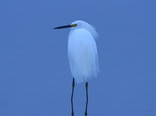 Snowy Egret on a Cold Day by Craig ONeal: Captured on a cold grey day in the Guana Wildlife Management Area, after several hours walking the trails. Changed the WB to Tungsend and other than a small crop..no photoshop needed.  #Photography #Snowy_Egret