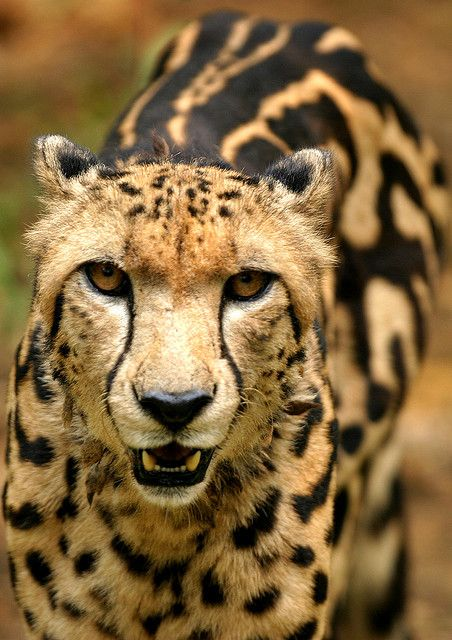 "Rare ""king"" cheetah markings.  Indistinct spots and 3 streaks on its spine."