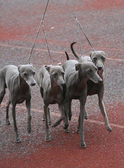italian greyhounds.