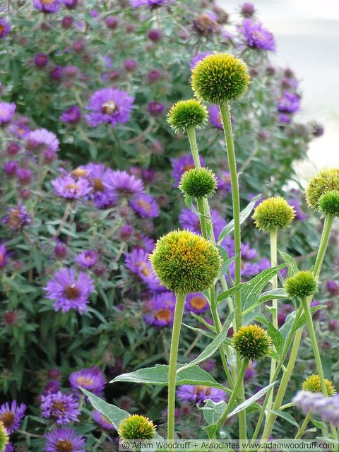 Echinacea 'Coconut Lime' with Aster 'Purple Dome'