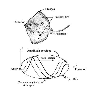 Mechanics of Stingray Swimming by releeps.tripod: Thrust is produced by flapping of the pectoral fins which produces large undulations  spanning from the anterior to the posterior of the fish. The amplitude envelope of the undulations increases from the anterior part to the fin apex and decreases toward the posterior and can be explained from its triangular-shaped pectoral fins which are narrower toward anterior and posterior of the fish. #Stingray #Swimming