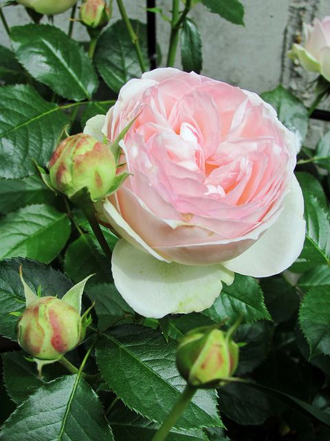 Rose 'Champagne Pink'