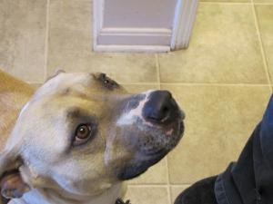 Penny is an adoptable Pit Bull Terrier Dog in Owenton, KY. Penny was found tied to the doorknob of the shelter. She is very sweet and just wants to be by your side at all times....