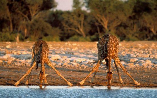 giraffes drinking- wild in africa