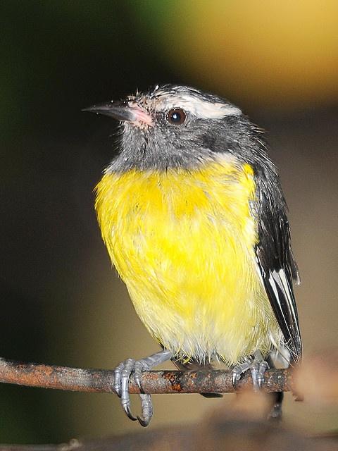 Sugar Bird