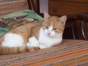 Izzy is an adoptable Domestic Short Hair-Orange Cat in Spring Lake, NJ. Izzy is an indoor male cat, almost 6 years old. Might possibly be the most cuddly cat on the planet. Likes to be held and played...