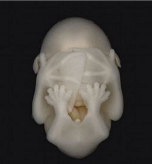 bat embryo #wild #animals