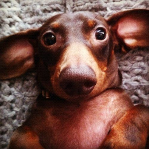 want to rub the tummy! #doxie