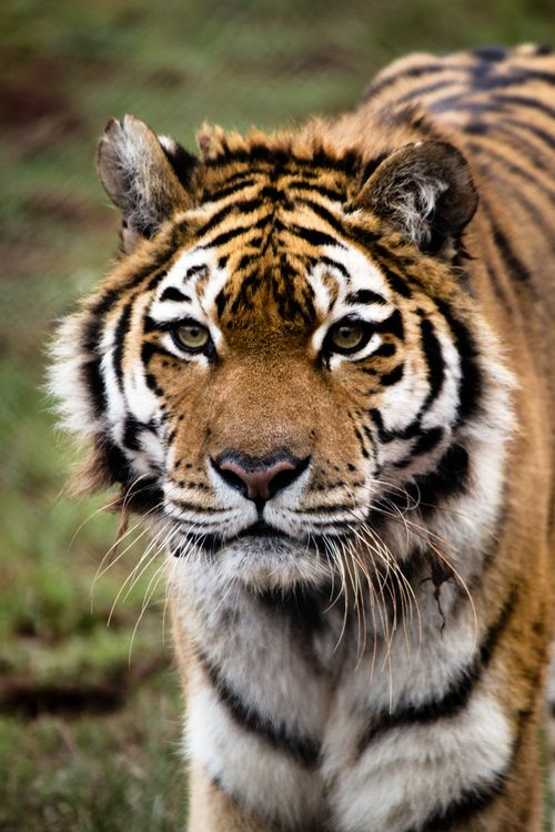 ?South Lakes Wild Animal Park -Sumatran Tiger (by andyoafmcgarry)