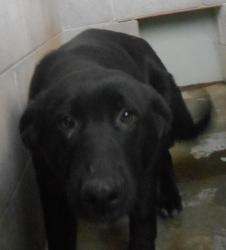 KENTUCKY ~ URG'T ~ meet Jessie ~ an #adoptable Black #LabradorRetriever #dog in #Stanford.  This shelter euthanizes weekly due to overpopulation. Thank you for considering a shelter dog. If you are interested in #adopting him e-mail Hillary at mailto:hillary_c@... If you're a rescue or adopter please understand that there is only 1 volunteer who monitors this site . Please be patient. Please do not crosspost on Craigs list. #Adopt Jessie at the Lincoln County Animal Shelter
