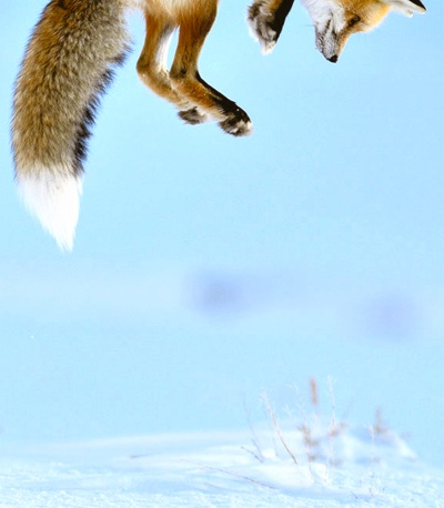Photographer Richard Peters sat in his car and from a distance watched the fox hunting.The fox was listening for rodents under the snow, then leaping high to pounce down on the unsuspecting prey.