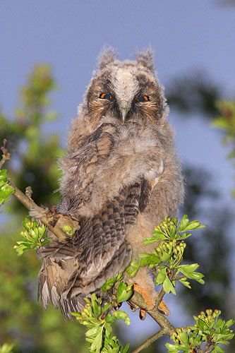 Wild long eared Owl chick
