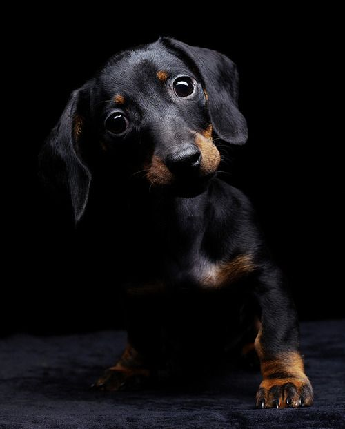 you know you cannot resist me #cute #doxie #puppy #dachshund