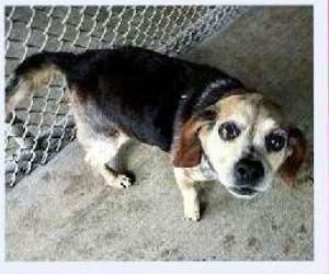 #MARYLAND ~ Sophie is an #adoptable #Beagle #Dog in #Gaithersburg. Who can resist this sweetie! She snores! She is adorable...just precious - she is a senior -came into a rural shelter - no background information. She is plump but tiny for a beagle. #Adopt this little doll from Annies Orphans ph  757-753-6864