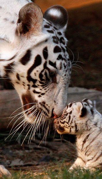 White #Tigers