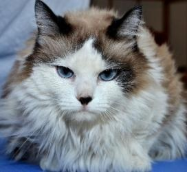 S'mores: An adoptable Ragdoll Cat in Shawnee, KS #adoptable cats