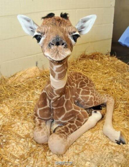 My favorite stage of giraffe development!