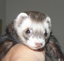Roxy is an adoptable Ferret Ferret in Austin, TX. If you are interested in any of ourferrets, please visit our website, www.ferretwaystat... to download our adoption application, or email us and ...