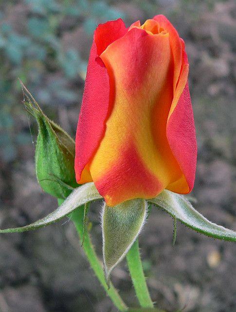 Orange & Yellow Rose Bud